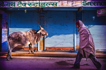 Holy cows! 2. The man and the cow. Jaisalmer, India, 2014.