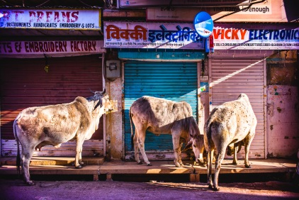 "Holy cows! I'm anxious to leave a world where cows are in the city malls shopping along (bazaar in India). Gandhi loved them too: ""Our mother, when she dies, means expenses of burial or cremation. Mother cow is as useful dead as when she is alive. We can make use of every part of her body — her flesh, her bones, her intestines, her horns and her skin."" Which wasn't that nice for his mommy. Jaisalmer, India, 2014."
